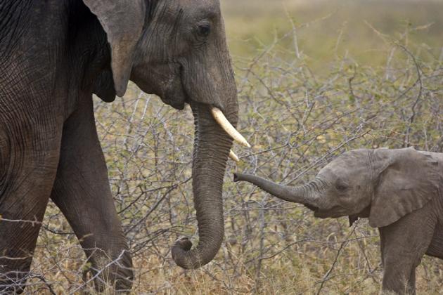 Зімбабве вимагає скасувати заборону на продаж слонової кістки Поштівка