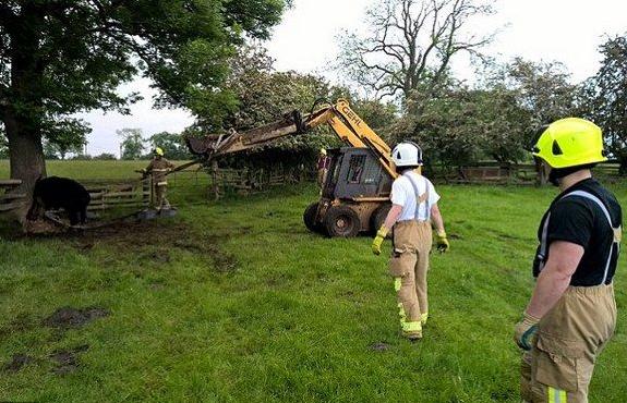 Британські пожежники рятували корову, яка застрягла у дуплі Поштівка