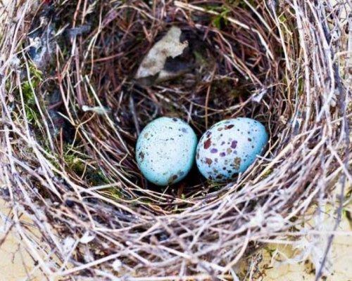Про що птахи співають яйцям Поштівка