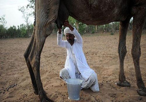 У Данії популяризують верблюже молоко Поштівка