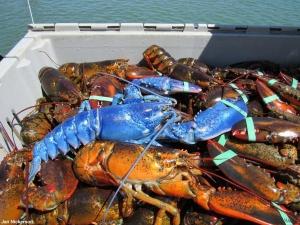 Рибак зловив омара рідкісного кольору Поштівка