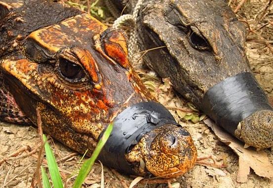 Вчені виявили помаранчевих крокодилів Поштівка