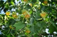 В Ужгороді розцвіли тюльпанові дерева - мешканці міста активно викладають у мережу світлини із квітучими тюльпановими деревами