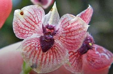Учені знайшли орхідею з «диявольським» обличчям Поштівка image 1