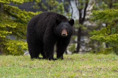 Канадець відбився від ведмедиці за допомогою боксерських прийомів Поштівка