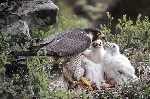 Сапсани найвірніші птахи Поштівка