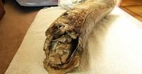 На Прикарпатті селяни відкопали бивень мамонта Поштівка