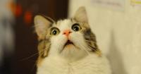 Угруповання «Ісламська держава» заборонило у Мосулі котів Поштівка