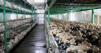 В Україні швидко зростає грибний бізнес