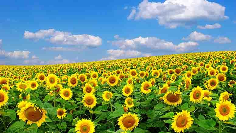 Українські аграрії занижують обсяги виробництва