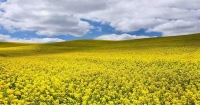 Врожай ріпаку: аналітики прогнозують рекордні обсяги експорту