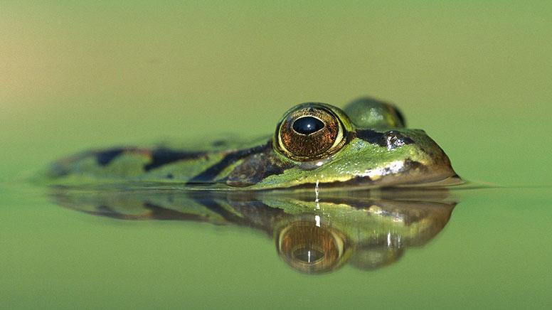 Edible Frog Ukraine