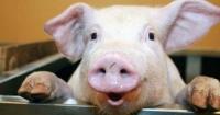 На Вінниччині відкриють сучасний свинокомплекс за 3 млн євро